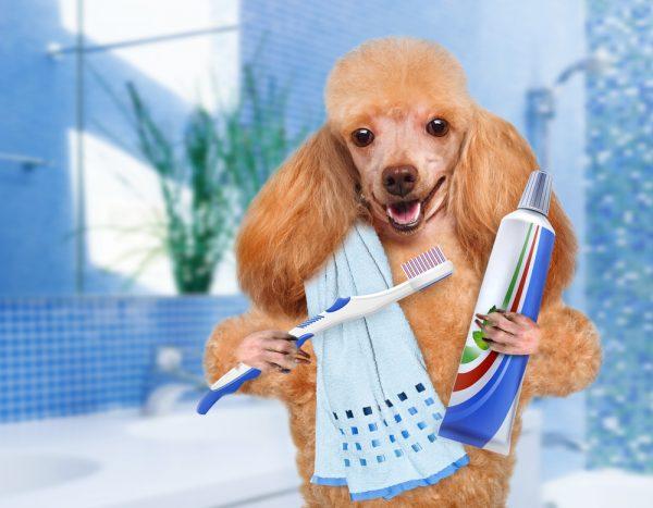 Como escovar os dentes do seu Pet