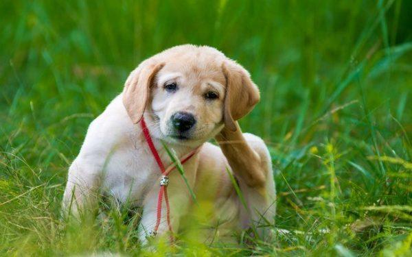 Como passar o antipulgas no cachorro?