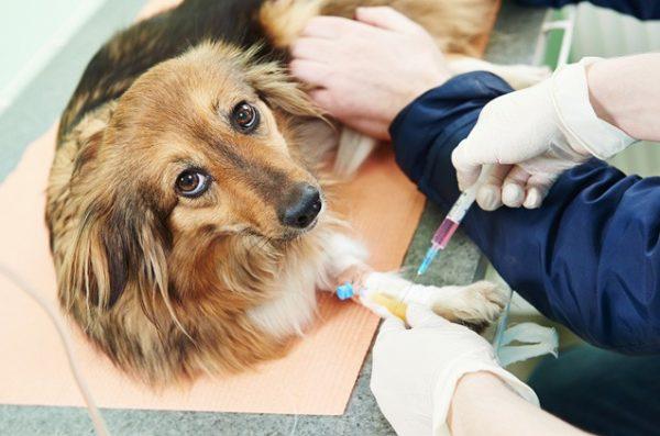 Porque é tão importante o hemograma para cachorro