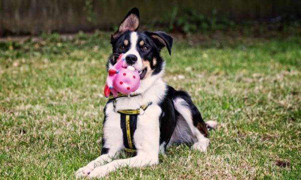 Estudo mostra como cães podem se beneficiar de brinquedos perfumados